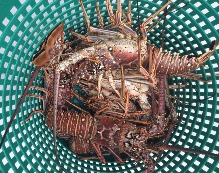lobster-diving