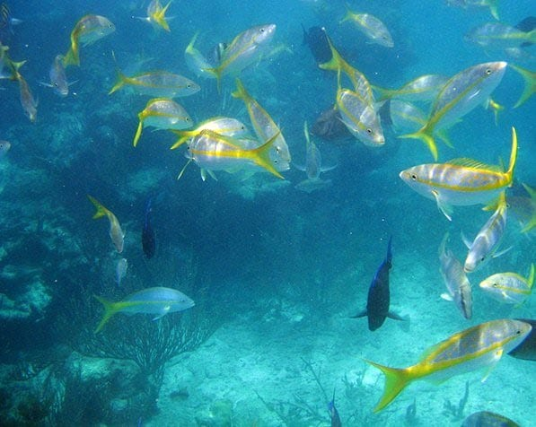 Yellow Tail Snappers grouped around a reef